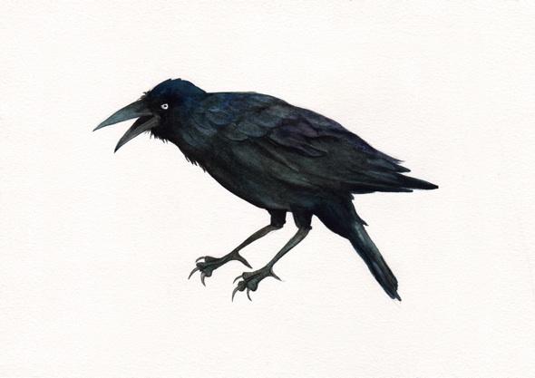 Angry crow