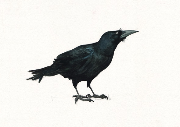 Timid Crow