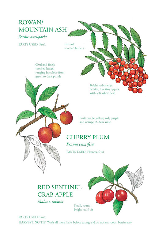 Rowan + Cherry Plum + Crab Apple